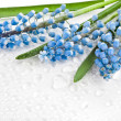 Springs Card surface of Flowers Muscari — Stock Photo #42051897