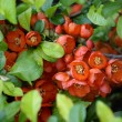 Stock Photo: Blossoming quince Japanese