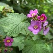 Stock Photo: Rubus odoratus plant