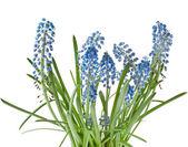 Blue Springs flowers Muscari — Stock Photo