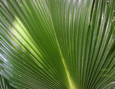 Green palm leaf close up background — Stock Photo
