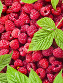 A lot of a tasty juicy raspberry — Stock Photo