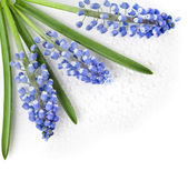 Blue Springs flowers Muscari — Stock Photo