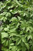 Green Creeper grape plant — Stock Photo
