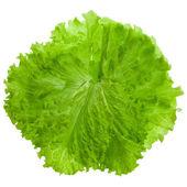 Fresh salad lettuce close up — Stock Photo