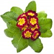 Spring flower primrose primula — Stock Photo