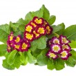 Blooming primrose primula polyanthus — Stock Photo