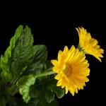 Two Yellow Gerbera — Stock Photo #44483135
