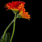 Couple Embrace of Gerbera flowers — Stock Photo