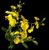 Ljusa gula oncidium orchid — Stockfoto