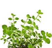 Fresh flavoring Herb Marjoram — Stock Photo
