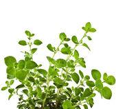 Fresh flavoring Herb Marjoram — Stock Photo