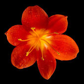 Single flower head bud of lily clivia kind — Stock Photo