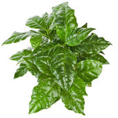 Green Leaves Coffee Arabica Plant — Stock Photo