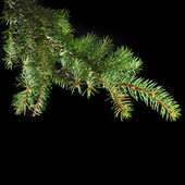 Fresh green fir branch — Stock Photo