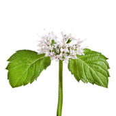 Green mint leaves blooming close up — Stock Photo