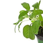 Bunch fresh green sage — Stockfoto