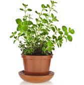 Fresh flavoring herbs oregano — Stock Photo