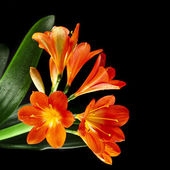 Orange color flowers of lily clivia — Stock Photo