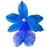 Blue Orchid Head Bud — Stockfoto