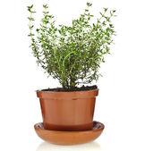 Bunch fresh green thyme herb — Stockfoto