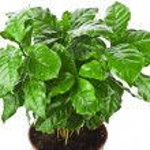 Coffee plant tree growing seedling — Stock Photo #48501637