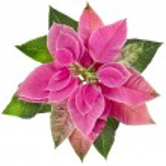 Euphorbia pulcherrima flor de Navidad — Foto de Stock   #48501707