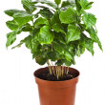 Coffee plant tree growing seedling — Stock Photo #48501813