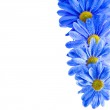 Blue Gerbera flower — Stock Photo #48501971