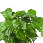 Coffee plant tree growing seedling — Stock Photo #48503013