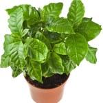 Coffee plant tree growing seedling — Stock Photo #48503179