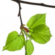 Spring branch with fresh green leaves — Stock Photo #48503185
