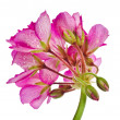 Geranium Pelargonium Flowers — Stock Photo #48503193
