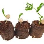 Growing peas seedlings — Stock Photo #48503375