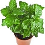 Coffee plant tree growing seedling — Stock Photo #48503529