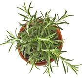 Savory fresh herb rosemary — Stock Photo