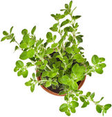 Fresh flavoring herbs oregano — Stock Photo