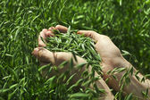 Handful of ripe green oats — Stock Photo