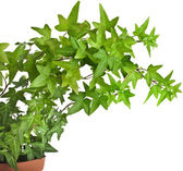 Green ivy plant in flower pot — Stock Photo