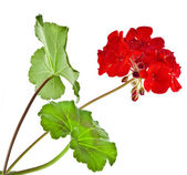 Zonal Geranium Flowers — Stock Photo