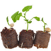 Vegetables seedlings in peat tablet pot — Stock Photo