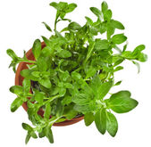 Bunch fresh green mint — Stock Photo