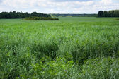 Green large oat field — Stock Photo