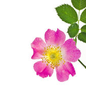 Border of wild pink rose hip — Stock Photo