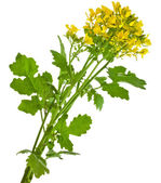 Mustard blooming plant — Photo