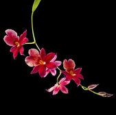 Orchid Cambria Burrageara — Stok fotoğraf