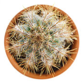 Cacti cactus plant — Stock Photo
