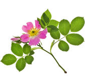 Beautiful stem wild rose — Stock Photo