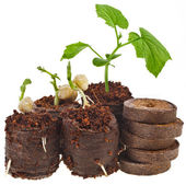 Growing seedlings — Stock Photo