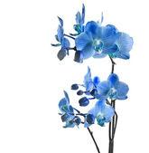 Niebieski orchidea — Zdjęcie stockowe